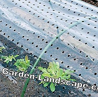 Vegetable cultivation under perforated foil