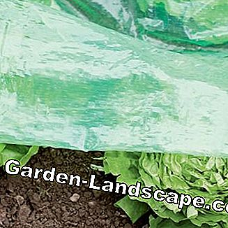 Salad cultivation under slot foil