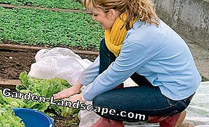 Salad cultivation under garden fleece