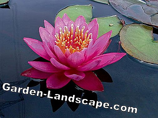 Water lily 'Angelique'
