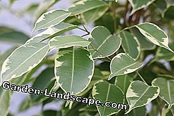 Leaves of the birch fig Ficus