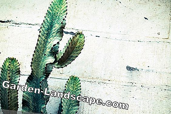 Cactus occidental, Euphorbia thiretsis - soin et reproduction: soin