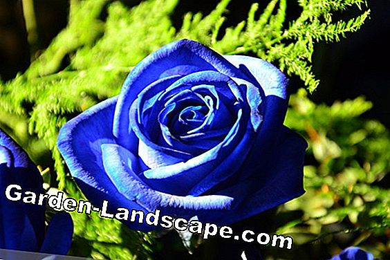 blauwe rozen planten