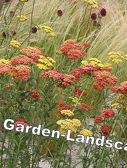 Yarrow and ornamental grasses