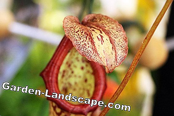 Nepenthes - pitcher plants