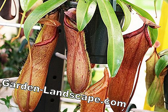 Pitcher Plant, Nepenthes - Care of A-Z and feed properly: feed
