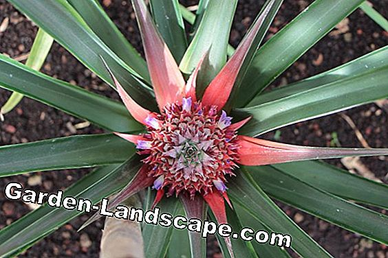 Ornamental pineapple - pineapple comosus