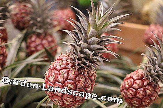 Ornamental pineapple: all about care and reproduction by Kindel: ornamental