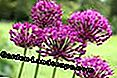 Purple Sensation (Allium aflatunense)