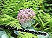 Star Ball Allium (Allium christophii)