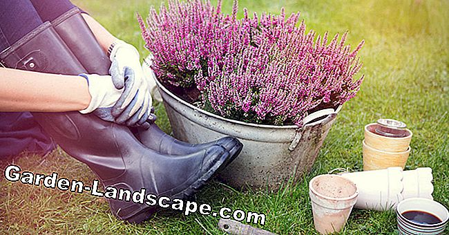 Peat substitute: potting soil from heather