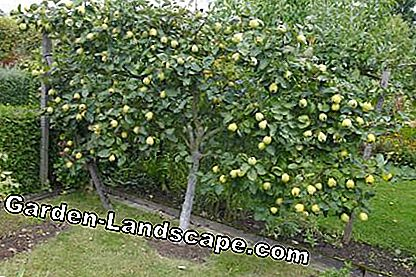 Pear tree as a fruit tree