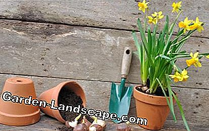 Plant daffodil flower bulbs