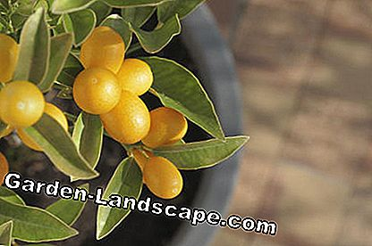 Kumquats, yellow citruses