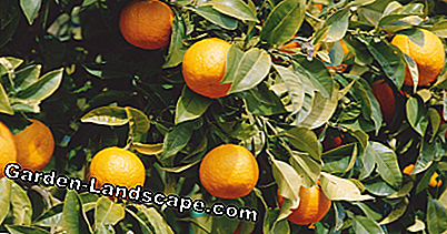 Fruits of an orange tree