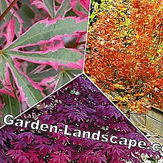 Japanese Maple Collection, 3 plants