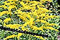 Verge d'or (Solidago)