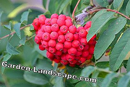 Rowanberry (Sorbus aucuparia)