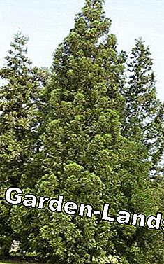 Sickle fir Cryptomeria japonica