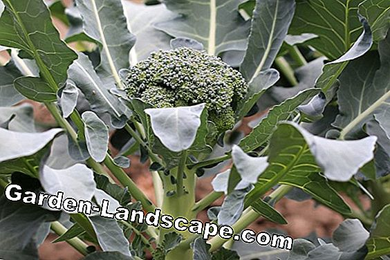 Broccoli cultivation - sowing, care and plants: cultivation