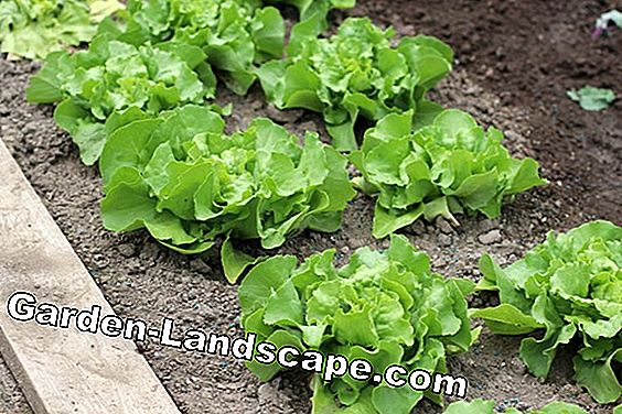 Plant lettuce - cultivation and care: care