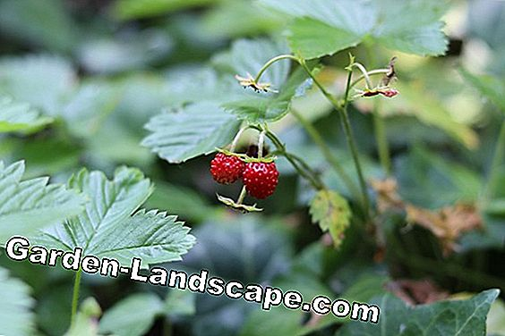 Cultivate monthly strawberries - care, increase and overwinter: monthly