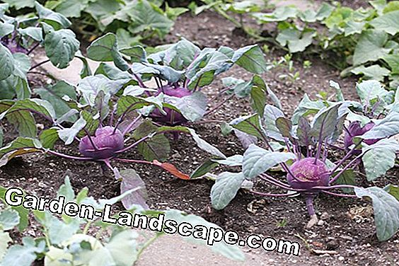 Grow spring vegetables - table of the most popular varieties