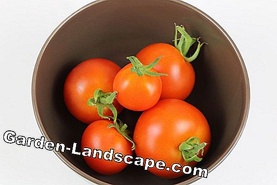 Vine tomatoes: Information about growing plants, care and size