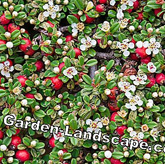 Cotoneaster with flowers and fruits