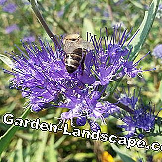 Bearded flower Caryopteris