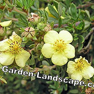 Finger shrub (Potentilla fruticosa)