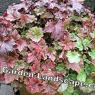 Purple bell heuchera