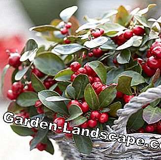 Wild berry (Gaultheria)