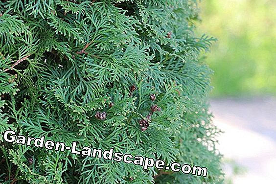Thuja Occidentailis