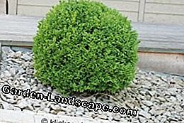 planted boxwood