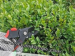 Cut boxwood