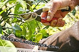 Cherry laurel, laurel cherry 'Etna' - care and cutting