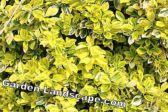 Goldliguster, Ligustrum ovalifolium Aureum - Care & Cutting: Goldliguster