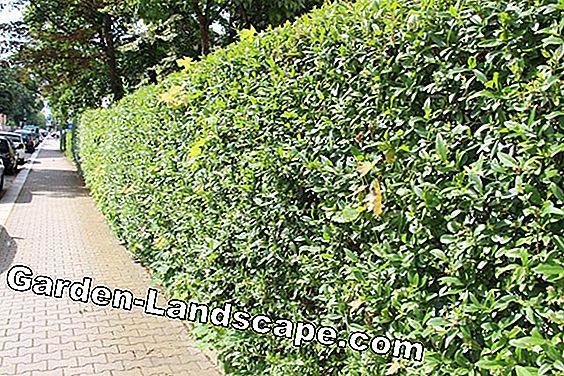 Cutting hedges - bird protection