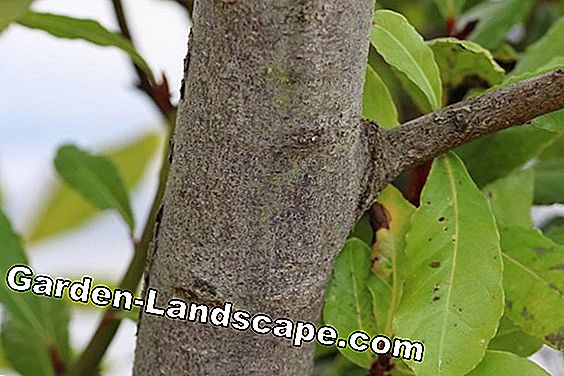 Laurel Tree - Laurus nobilis
