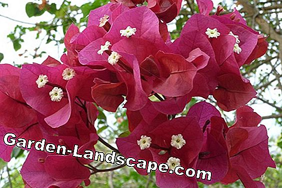 Treble flower - Bougainvillea