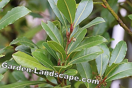 Real Laurel - Laurus nobilis