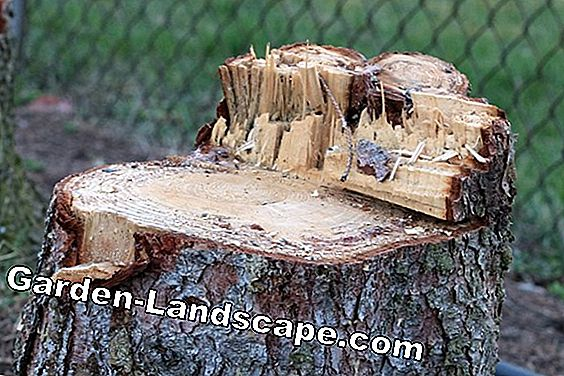 Remove stump - burning out or milling?: tree