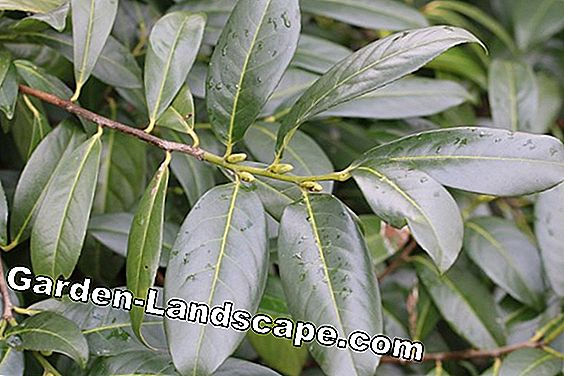 Is cherry laurel hardy and winter proof - how overwinter?: cherry
