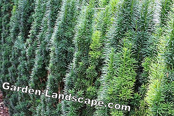 Yew Tree Care - Planting, Fertilizing and Cutting